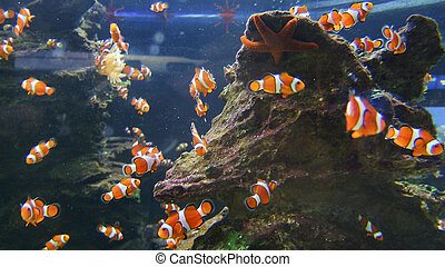 Western clownfish - The view of clownfish swimming around a...