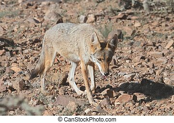 Western Coyote (Canis latrans) hunting in the Arizona desert