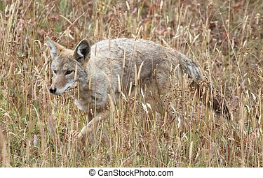 Western Coyote (Canis latrans) in a field in Yellowstone ...