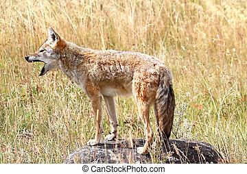 Western Coyote Howling