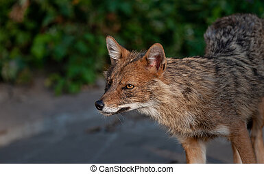 Beautiful wild animal. Western Coyote (Canis latrans) posing in a summer day.