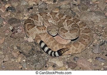 Western Diamondback Rattlesnake (Crotalus atrox) coiled to...