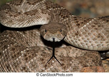 Western Diamondback Rattlesnake (Crotalus atrox) coiled to...