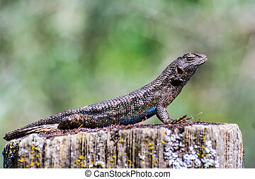 Western fence lizard (Sceloporus occidentalis) sitting on a wooden post on a sunny day; blue and green scales visible in the sunlight; San Francisco bay area, California; side view; blurred background