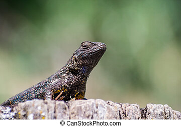 Western fence lizard (Sceloporus occidentalis) sitting on a wooden post on a sunny day; blue and green scales visible in the sunlight; south San Francisco bay area, California; blurred background