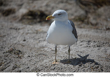 Western gull (Larus occidentalis) on sand in Miami beach,...