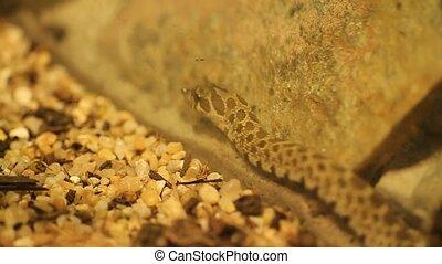 western hog-nosed snake - scientific name : Heterodon...