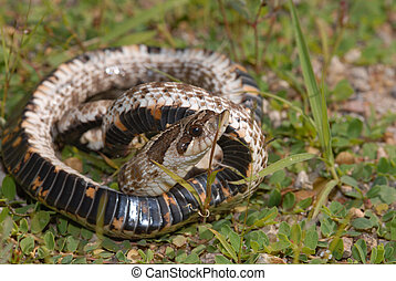 Western Hognose - When captured the hognose snake puts on a...