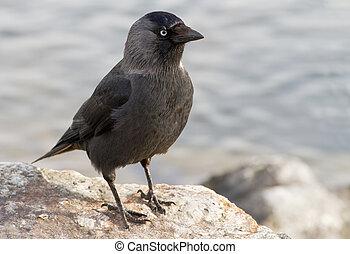 Western Jackdaw. Corvus monedula. - Western Jackdaw sitting...