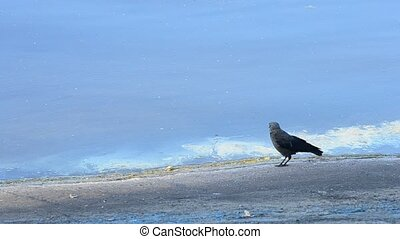 Western jackdaw on concrete embankment along coastline It is also known as the Eurasian jackdaw or European jackdaw. Corvus monedula.