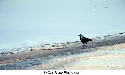 Western jackdaw walks on concrete embankment along coastline looking for food. The bird is also known as the Eurasian jackdaw or European jackdaw.