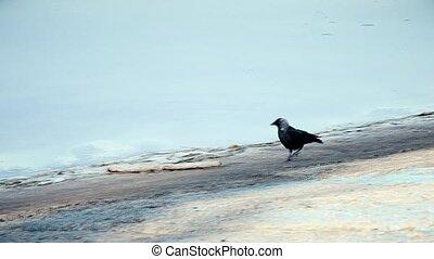 Western jackdaw walks on concrete embankment along coastline...