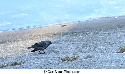 Corvus monedula. Western jackdaw walks on concrete embankment along coastline looking for food, then takes flight and flies away. It's a passerine bird in the crow family and is also known as the Eurasian jackdaw or European jackdaw. It is found across Europe, North Africa and western Asia and it is...