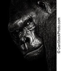 Western Lowland Gorilla BW - A 3/4 Portrait of a Western...