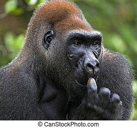 Western Lowland Gorilla. - Portrait of Silverback - adult...