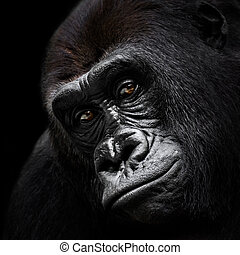 Frontal Portrait of a Western Lowland Gorilla