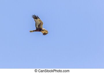 A western marsh harrier into the flight