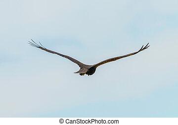 Western Marsh Harrier in flight (Circus Aeruginosus)?