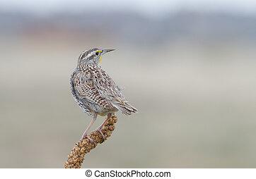 Back view of a perched Western Meadowlark. State bird of Kansas, Montana, Nebraska, North Dakota, Oregon and Wyoming.