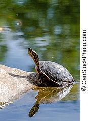 Western Painted Turtle in Pond - Western painted turtle...