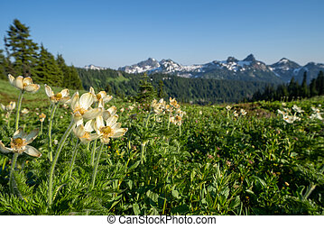 Western pasqueflower wildflowers in Mount Rainier National Park