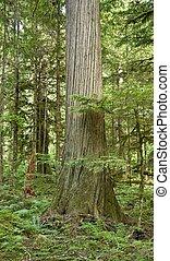 A mature western Red Cedar in south-west BC Canada