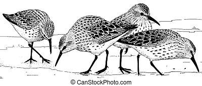 Western Sandpiper - Calidris mauri - feeding