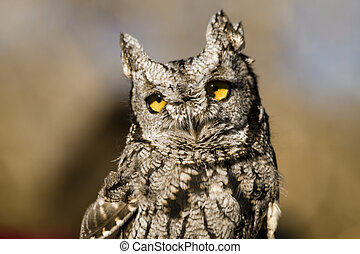 Western Screech Owl in Autumn Setting - Close up of Western...