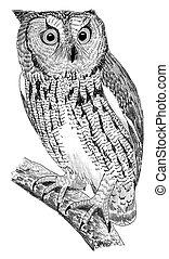 Western Screech-Owl - Megascops kennicottii