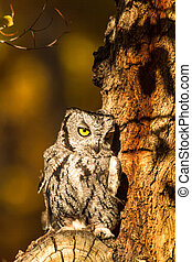 Western Screech Owl perched in tree branch on fall morning