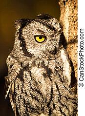 Western Screech Owl - Screech Owl perched on tree branch in...