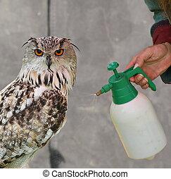 Western Siberian eagle-owl (Bubo bubo sibiricus) is sprayed ...