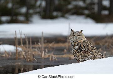Western Siberian eagle owl - (Bubo bubo sibiricus)