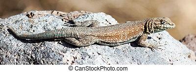 Western side-blotched lizard, adult male, sun bathing.