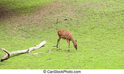 Western Sitatunga eating grass