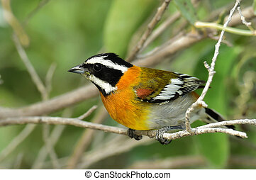 Western Spindalis, Spindalis zena, perched on branch. Stripe-headed Tanager. Cuba