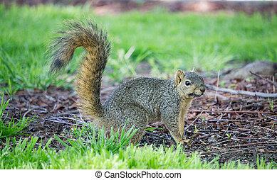 Western  Squirrel