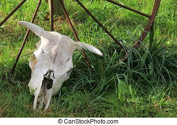 Western wheel and steer skull - Western wheel on grassy lawn...