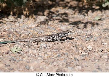 Western Whiptail Lizard in the desert.