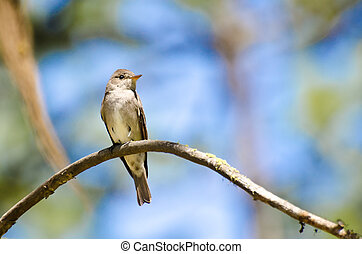 Western Wood-Pewee Perched in a Tree
