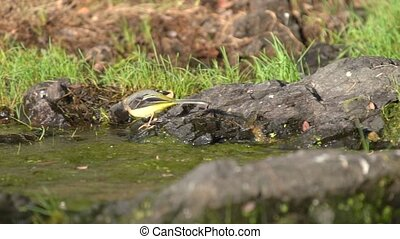 Western yellow wagtail jumping over the rocks near river in ...