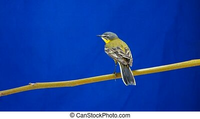 Western yellow wagtail (Motacilla flava) isolated on a blue...