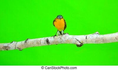 Western yellow wagtail (Motacilla flava) isolated on a green...