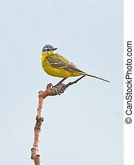Western yellow wagtail (Motacilla flava) - Western yellow ...