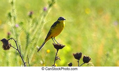 Western Yellow Wagtail sits on a flower
