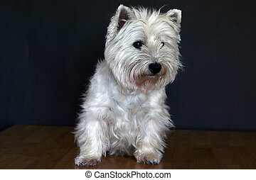 Westie - a West Highland White Terrrie