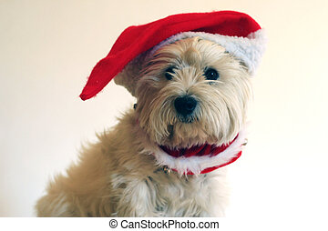 Westie for Christmas - Our Westie is dressed for Christmas
