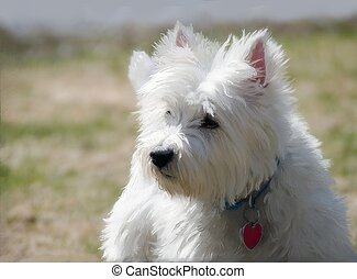 Westie in the springtime - A West Highland White Terrier dog...