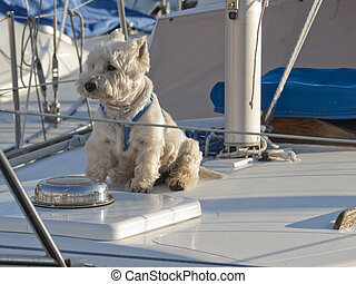 Westie on sailing boat in marina