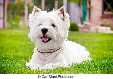 Westie on the green grass - Westie lying on green grass